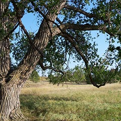 "Cottonwood tree planted by Charles ""Pa"" Ingalls, De Smet, South Dakota."